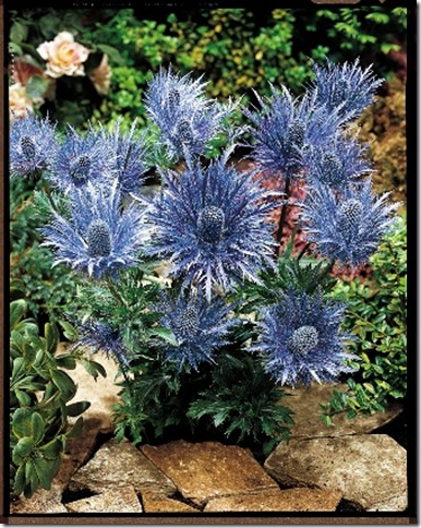 seaholly